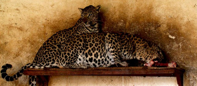 Captive Arabian leopards