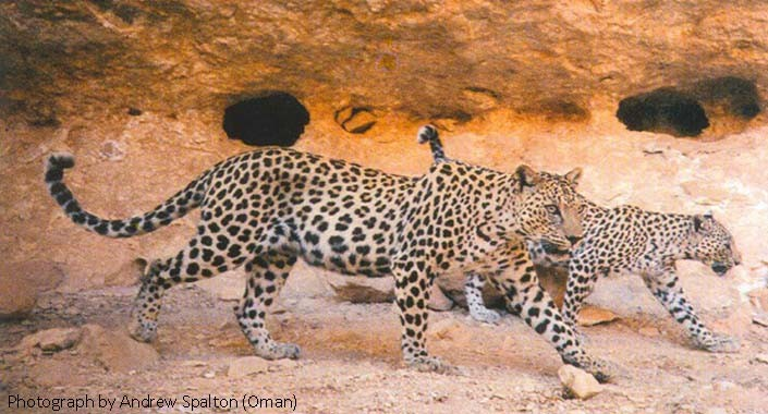 Leopard Pair by Andrew Spalton