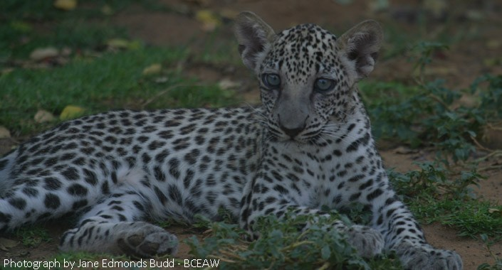 Linas Cub by Jane Edmonds Budd