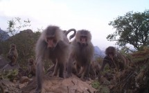 Baboons at Jebel Milhan