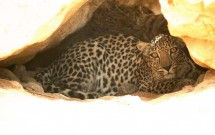 Arabian Leopards by Damien Egan