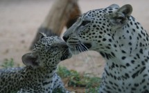Arabian Leopards by Jane Edmonds Budd
