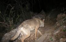 Arabian Wolf at Maghfeeq, January 17, 2012