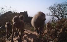 Baboon Troop at Wadi Al Gharir