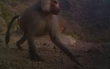 Male Baboon at Shat Al Ghaib