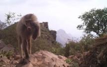 Baboon touching eye at Wadi Al Gharir