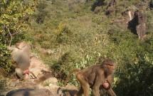 Baboons at Al Shaharah