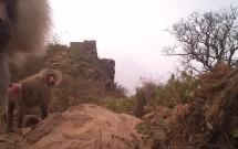 Baboons at Wadi Al Gharir Feb. 27, 2012