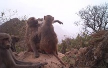 Baboons grooming at Wadi al Gharir