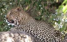 Male leopard on branch, Tuli Block, Botswana
