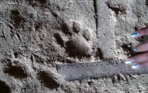 Caracal track at
