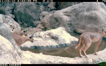 Caracal with cubs at Magonah, March 10, 2011