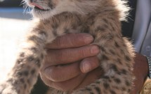 Handling a baby cheetah at SIS 'pet day'