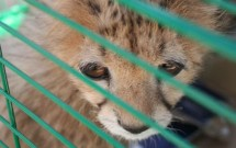 Baby Cheetah in a bird cage during SIS 'pet day'