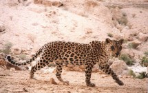 Arabian Leopard Survey Oman