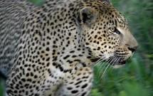 Male leopard, Elephant Plains, South Africa