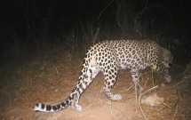 Arabian Leopards in Yemen