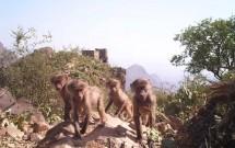 Gang of four young baboons at Wadi Al Gharir