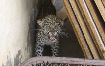 Leopards for Sale