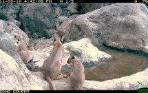 Caracal with cubs at Magonah, March10, 2011