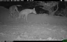 Arabian Wolves at Al Thowre, November 21, 2010