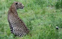 Leopard sitting in grass, Elephant Plains, South A