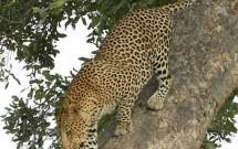 Leopard clambering down tree, Tuli Block, Botswana