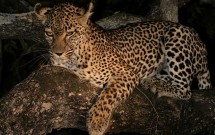 Night leopard in tree, Elephant Plains, South Afri