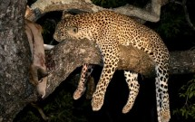 Leopard with kill in tree, Elephant, Plains South