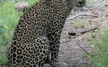 Leopard looking at camera, Elephant Plains, South