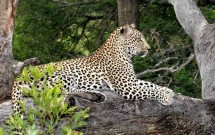 Leopard lounging on tree stump, Elephant Plains, S