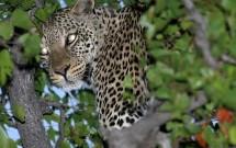 Leopard in tree, Tuli Block, Botwsana