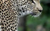 Leopard portrait, Elephant Plains, South Africa