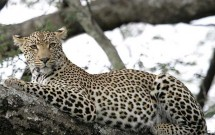 Scotch Macaskill African leopards