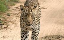 Walking leopard on sandy track, Elephant Plains, S