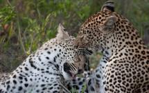Greg Harvey - Leopards Grooming 1