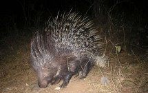 Indian Crested Porcupines