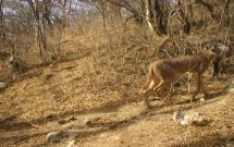 Caracal with Hyrax at Kharobit, March 4, 2011