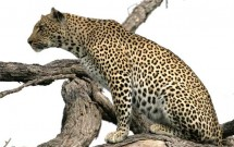 Alert leopard in tree, Elephant Plains, South Afri