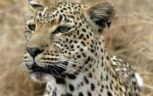 Portrait of a leopard, Elephant Plains, South Afri