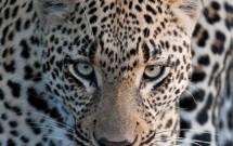 Greg Harvey - Leopard Stare