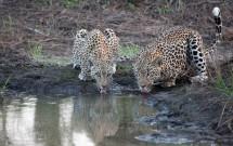 Greg Harvey - Leopards Drinking