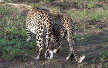 Greg Harvey - Leopards Walking Away